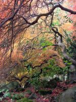 An Acer Weeps For Autumn by aegiandyad