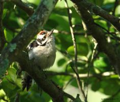 A Little Downy Woodpecker by natureguy