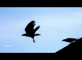 Crow Take Off by igarcia