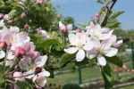 apple blossom by GLO-HE