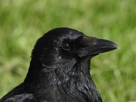 Corneille noire - Carrion crow - Corvus corone by ThomasHumbertRaven