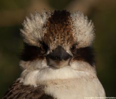 Laughing Kookaburra by SirTimid