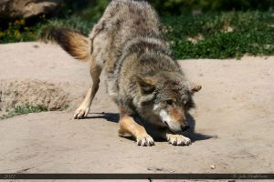 European Wolf 175 by Canisography