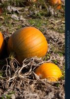 Pumpkin Patch 01 by kuschelirmel-stock