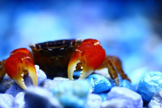Red Clawed Crab by sapphiresphinx