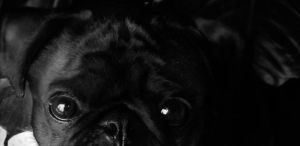Please Says the Pug Banner by SprenklePhotography