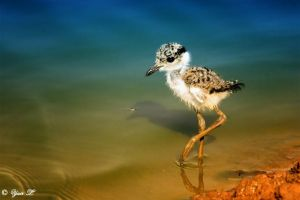 young Spur winged Lapwing by Yair-Leibovich