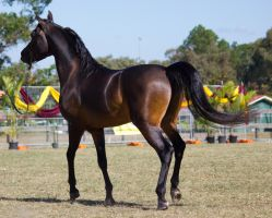 STOCK - 2014 Arabian Challenge-422 by fillyrox