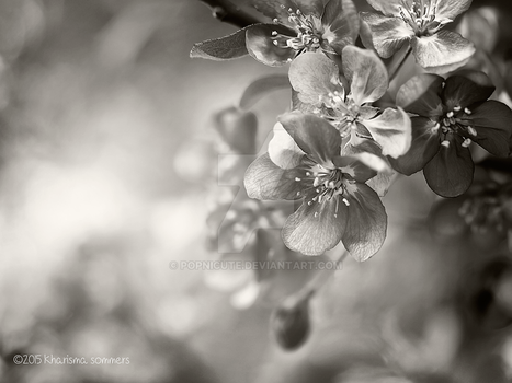 Crab Apple Tree Blossoms by popnicute