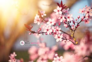 Cherry Blossom by thesashabell