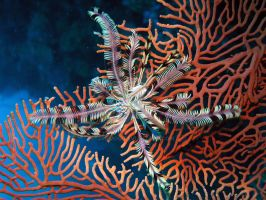 Feather Star by Jagmoo