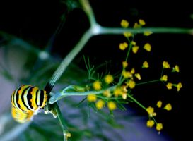 Monarch Caterpillar by Mrs-Mims