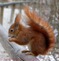 Squirrel 40 by Cundrie-la-Surziere