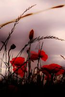 Field Poppies 5 by melrissbrook
