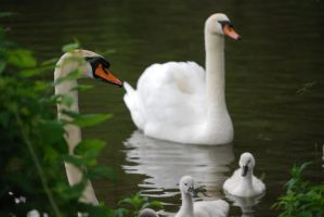 Swans by Sally-MicKeY-FinN