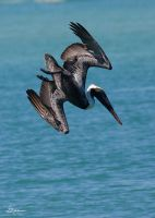 Pelican diving for lunch by DGAnder