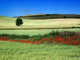 Poppies. by TheRawAtom