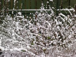 dots of snow on a bush by Toph-Rulz16