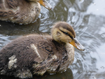 Young mallard by Mogrianne