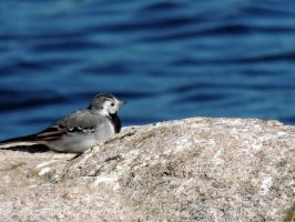 Tired wagtail by 3LadyInRed3