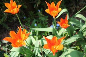 orange beauties in my garden by ingeline-art