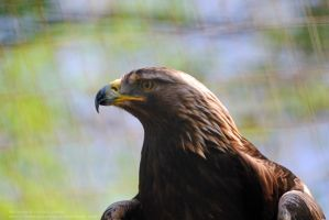 Golden Eagle by 8TwilightAngel8