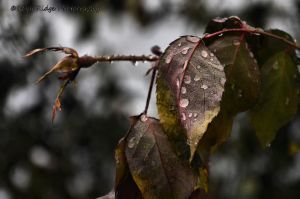 Drops by RobyRidge