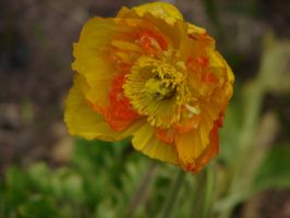 Golden Poppy by PaintingSaint