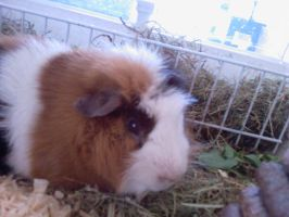 Tommy my cute Guinea pig by Marlous2604