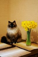 Simba and the daffodils 111_366 by eugene-dune