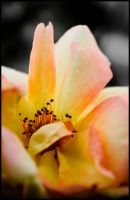 Mellow Yellow by impgrrrl