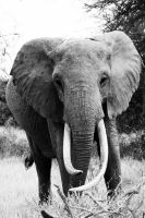 African Elephant by PittuMcflurry