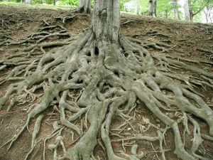 Roots old tree by juciely