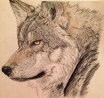Mexican Grey Wolf by TiffMootrey