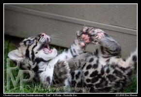 Clouded Leopard Cub Playtime by UrsusAmericanus