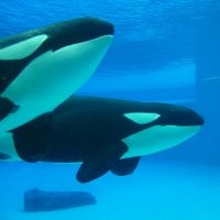 killer whales by xmagdax