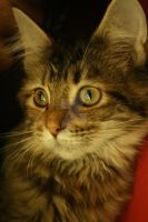Main-Coon Cat by 0Betty-Blue0