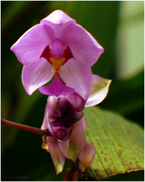 - Little Orchidee - by Cam-lou-photos