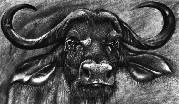 African Buffalo by emizael