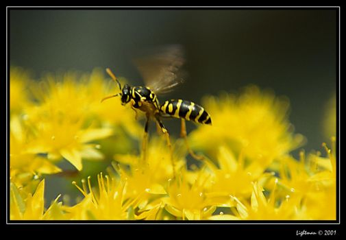 Flying wasp by lightman-73