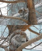 Montreal II: squirrel by Kassis