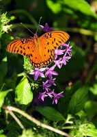 Beach Fritillary by TThealer56