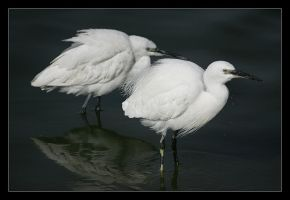Little Egret by invisiblewl
