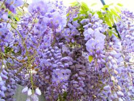 Wisteria 2009, part 2 by MikeHungerford