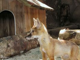 The Curious Case of the Corsac Fox by Mouselemur