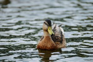 Duck 7 by SampleOfSoul