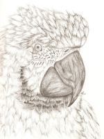 Parrot Drawing by eriney