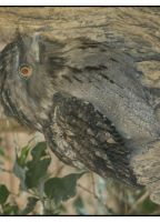 Tawny Frogmouth 2 by shawn529