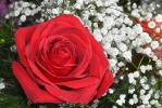 Red rose... by AMP-20