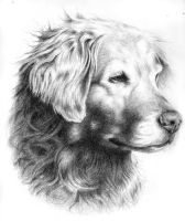 Portrait of a Golden Retriever by AGillustration